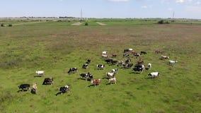 Opinión aérea la manada de vacas en pasto Vida en el pueblo, Ucrania Cámara lenta, inclinación almacen de metraje de vídeo