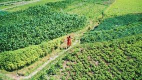 Opinión aérea la mujer en vestido rojo que camina a lo largo de campos verdes en Bali metrajes