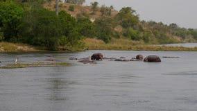 Opinión aérea los hipopótamos africanos salvajes que flotan en el río cerca de la costa tropical almacen de video