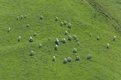 Opinión aérea sobre la manada de vacas Foto de archivo libre de regalías