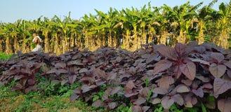 Opinión agrícola de Kerala imagen de archivo libre de regalías