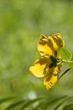 Opinión amarilla hermosa de la parte posterior de la flor en la luz del sol y el prado verde borroso del fondo natural aislados Foto de archivo
