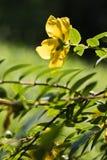 Opinión amarilla hermosa de la parte posterior de la flor en la luz del sol y el prado verde borroso del fondo natural aislados Fotos de archivo