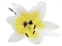 Opinión amarilla limón del primer del lirio Foto de archivo libre de regalías