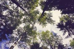 Opinión amplia del aggle al cielo debajo del abedul y de abetos Foto de archivo libre de regalías