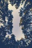 Opinión amplia del aggle debajo de árboles de pino y del cielo colorido en la puesta del sol Fotos de archivo libres de regalías