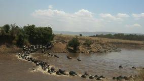 Opinión amplia el ñu que cruza el río de Mara en Kenia metrajes