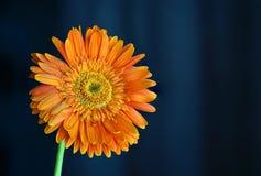 Opinión anaranjada de Daisy Flower Gerbera Close Up sobre fondo oscuro imagenes de archivo