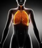 Opinión anterior de la anatomía respiratoria femenina Foto de archivo