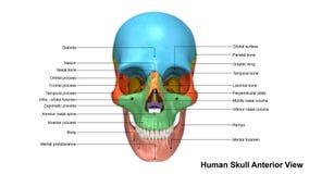 Opinión anterior del cráneo libre illustration