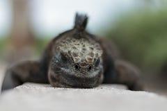 Opinión ascendente cercana de la iguana foto de archivo