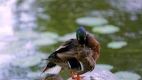 Opinión ascendente cercana el pato colorido lindo cerca de un río Fondos hermosos de la naturaleza almacen de video