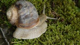 Opinión ascendente cercana un caracol que camina lentamente en una roca cubierta de musgo almacen de video
