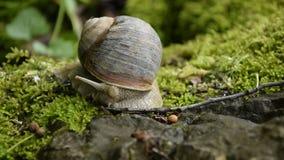 Opinión ascendente cercana un caracol que camina lentamente en una roca cubierta de musgo almacen de metraje de vídeo
