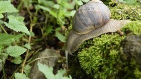 Opinión ascendente cercana un caracol que camina lentamente en una roca cubierta de musgo metrajes