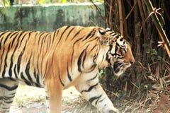 Opinión ascendente cercana una tigresa del tigre foto de archivo