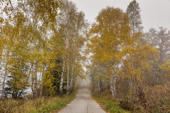 Opinión asombrosa del otoño con los abedules a lo largo del camino, montaña de Vitosha, Bulgaria Imagen de archivo libre de regalías