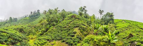Opinión asombrosa del paisaje de la BANDERA de la plantación de té en la puesta del sol, sunri Imagenes de archivo
