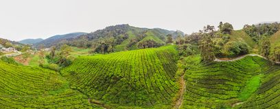 Opinión asombrosa del paisaje de la BANDERA de la plantación de té en la puesta del sol, tiempo de la salida del sol Fondo de la  Fotos de archivo libres de regalías