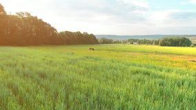 Opinión baja aérea la vaca mancha marrón que pasta en campo ancho 4K metrajes