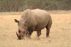 Opinión blanca de cuarto de tres del rinoceronte Fotos de archivo