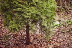 Opinión cercana del árbol del onifer del ¡de Ð en un parque foto de archivo libre de regalías