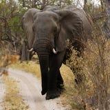 Opinión cercana el elefante africano en Bush Fotos de archivo libres de regalías