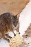 Opinión cercana el Wallaroo que come el alimento Imagenes de archivo