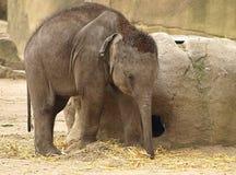 Opinión cercana un elefante del bebé fotografía de archivo libre de regalías