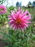 Opinión cercana una dalia rosada blanca de la flor Foto de archivo libre de regalías