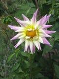 Opinión cercana una dalia rosada blanca de la flor Imagenes de archivo