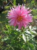 Opinión cercana una dalia rosada blanca de la flor Fotos de archivo