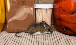 Opinión completa lateral de carrocería un ratón de casa gris salvaje en un armario de cocina con los tarros de comida detrás de é fotos de archivo