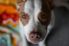 Opinión contenta del retrato el perrito del pitbull en su nuevo hogar foto de archivo
