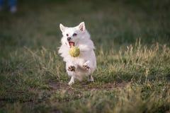 Opinión corriente blanca del primer de Mini Spitz el perro imágenes de archivo libres de regalías