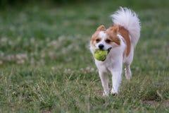 Opinión corriente blanca del primer de Mini Spitz el perro foto de archivo