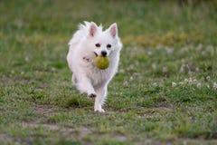 Opinión corriente blanca del primer de Mini Spitz el perro imagen de archivo libre de regalías