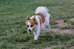 Opinión corriente del primer de Mini Spitz el perro fotografía de archivo