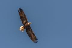 Opinión de águila calva que vuela Imagen de archivo