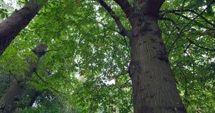 Opinión de ángulo bajo de árboles verdes altos almacen de metraje de vídeo