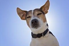 Opinión de ángulo bajo el perro del terrier de Jack Russell foto de archivo libre de regalías