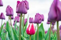 Opinión de ángulo bajo el tulipán francés rojo y blanco que crece entre un campo de los tulipanes púrpuras del triunfo Primer, fo fotos de archivo libres de regalías