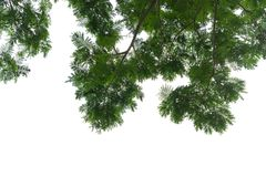 Opinión de ángulo bajo en el top del árbol en el fondo blanco foto de archivo