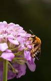 Opinión de ángulo bajo la abeja de alimentación Fotografía de archivo