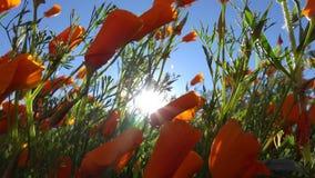 Opinión de ángulo bajo Poppy Flowers Blowing anaranjada en una brisa de la mañana almacen de video