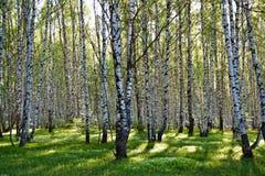 Opinión de árboles de abedul Imagen de archivo libre de regalías