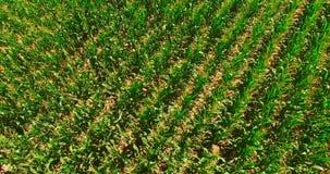 Opinión de Aeerial del campo de maíz almacen de video