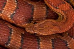 Opinión de alto ángulo la serpiente de maíz o la serpiente de rata roja imagen de archivo