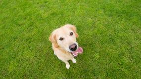 Opinión de arriba hacia abajo del perro perdiguero de oro Imagen de archivo