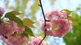Opinión de Bottom Up del primer floreciente de las flores rosadas brillantes en luz del día almacen de metraje de vídeo